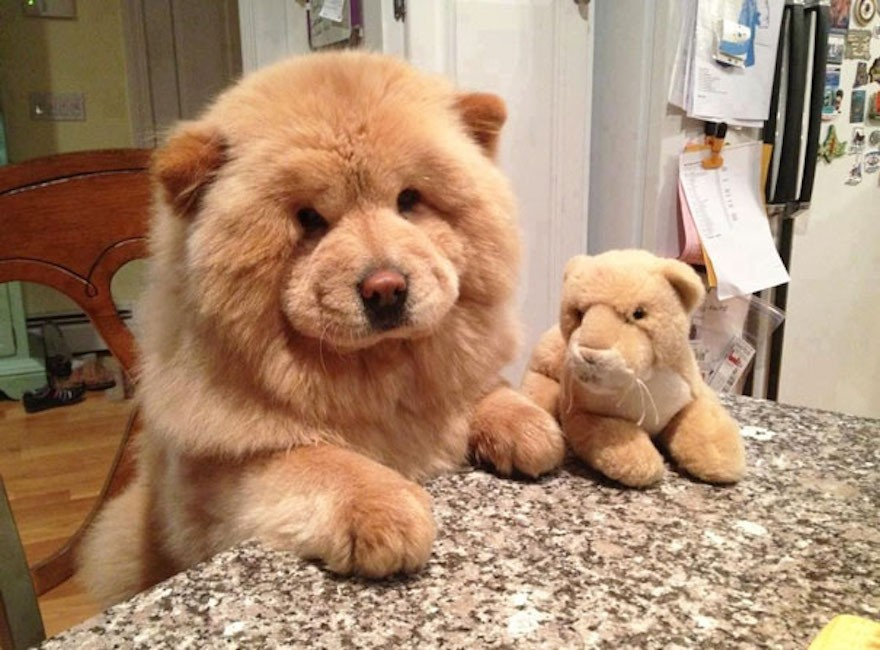 10 Teddy Bear Dogs that Pose like a Toy Store Display You Would Like to Buy One