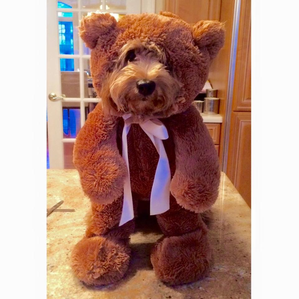 A Teddy bear dog in a literally teddy bear costume